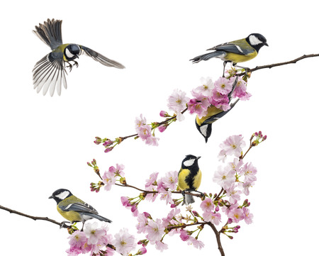 group of great tit perched on a flowering branch, Parus major, isolated on white Stock Photo
