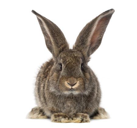 白で隔離され、ウサギの正面図 写真素材
