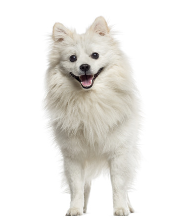 German Spitz panting (18 months old) Stock Photo