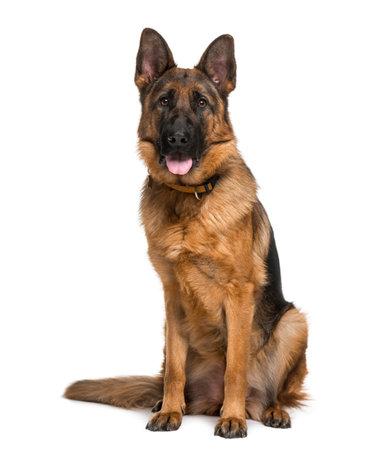 독일 셰퍼드 강아지 (18 개월)