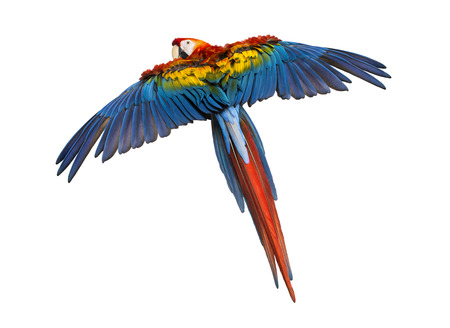 Scarlet Macaw flying (4 years old), isolated on white Stockfoto