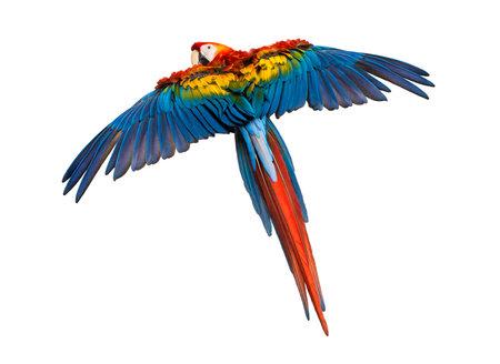 Scarlet Macaw volar (4 años), aislado en blanco Foto de archivo