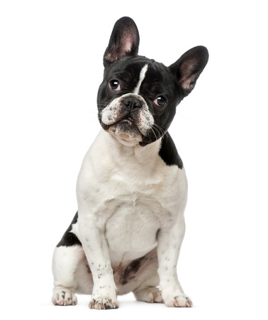 French Bulldog puppy (6 months old) Stock Photo