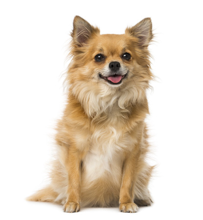 chihuahua (3 years old)