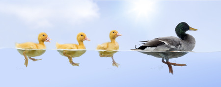 Duck family floating in a raw Stock Photo - 31643651
