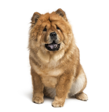 chow chow (2 years old) Stock fotó
