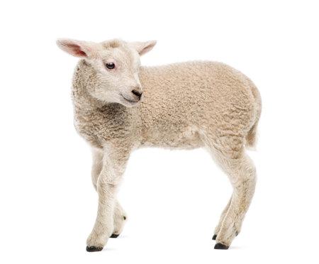 Lam (8 weken oud) op wit wordt geïsoleerd Stockfoto