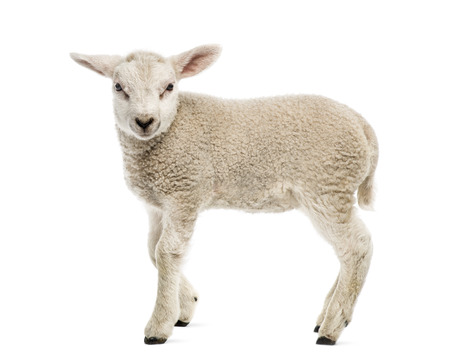 Lamb (8 weeks old) isolated on white Stok Fotoğraf