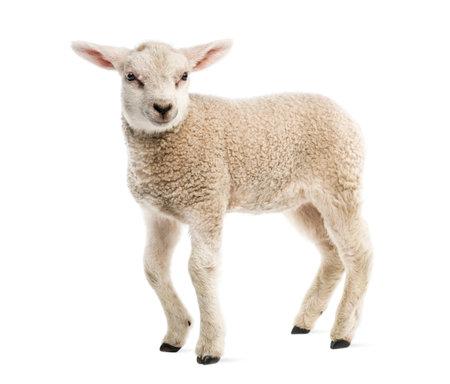 Lamb (8 weeks old) isolated on white Reklamní fotografie