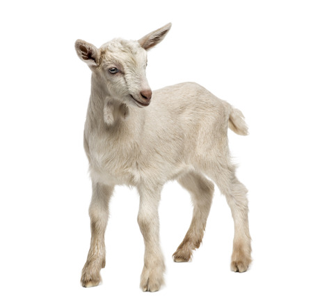 Goat kid (8 weeks old) isolated on white Banco de Imagens - 33639754