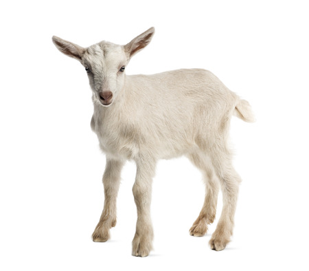 ヤギの子供 (8 週齢) 白で隔離 写真素材