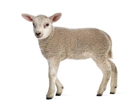Lamb (8 weeks old) isolated on white Stockfoto