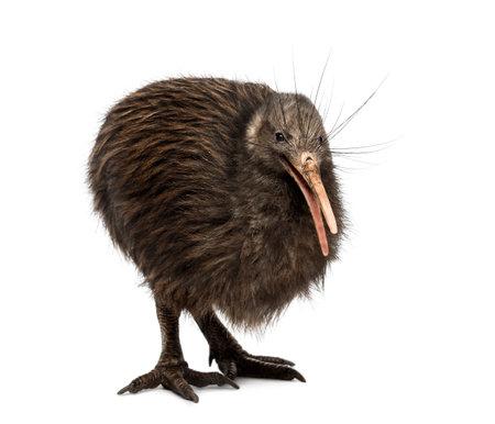North Island Brown Kiwi, Apteryx mantelli 写真素材