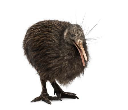 North Island Brown Kiwi, Apteryx mantelli Reklamní fotografie