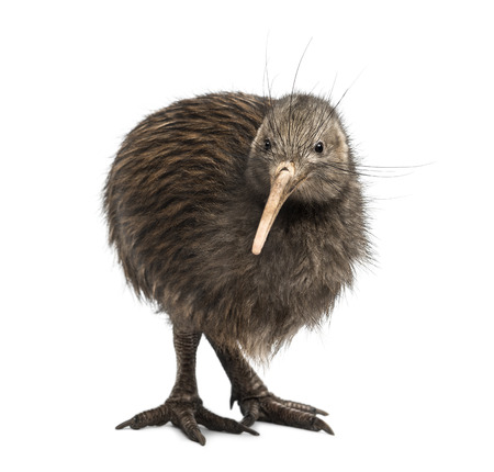 North Island Brown Kiwi, Apteryx mantelli Фото со стока
