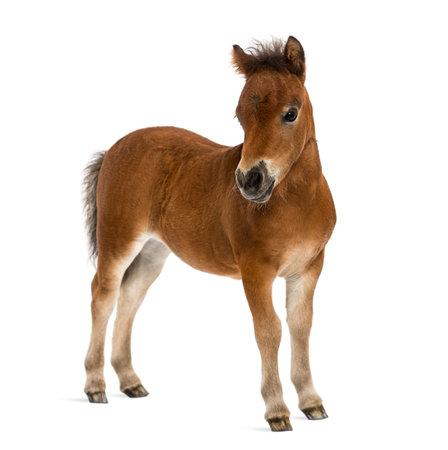 shetland foal - 1 month old
