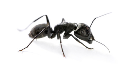 Ant Carpenter, Camponotus vagus Zdjęcie Seryjne