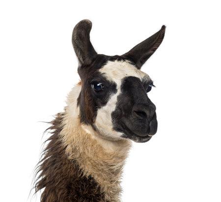 Close-up von einem Llama Standard-Bild - 36237829