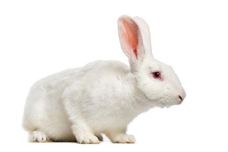 Conejo blanco (7 meses)