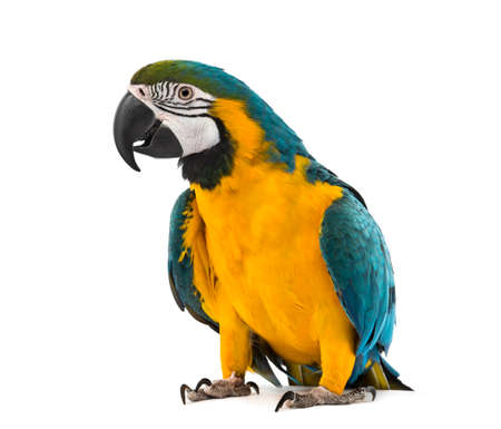 Blue-and-yellow Macaw in front of a white