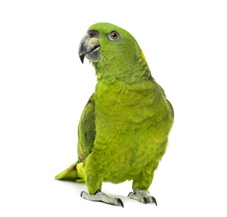 Yellow-naped amazon, Amazona auropalliata, in front of a white  Banque d'images