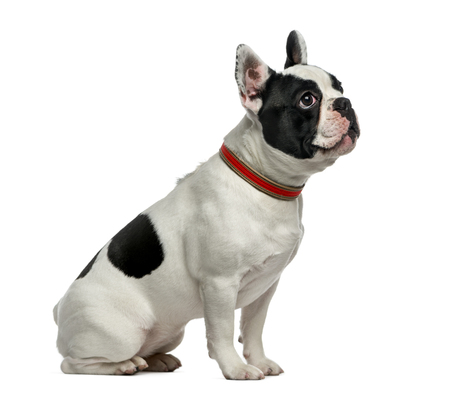 French Bulldog (1 year old) in front of a white