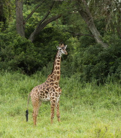 立って、セレンゲティ、タンザニア、アフリカ若いキリン