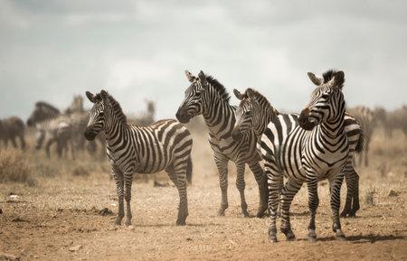 Zebra standing, Serengeti, Tanzania, Africa
