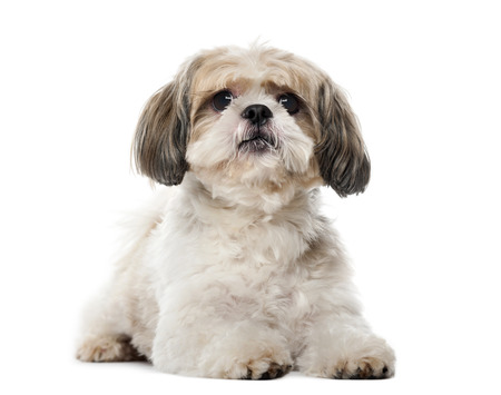 Shih Tzu (8 years old) in front of a white