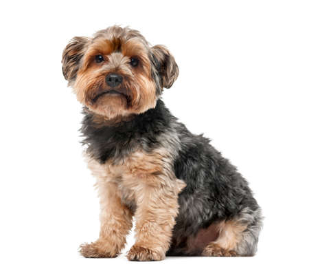 Yorshire terrier in front of a white