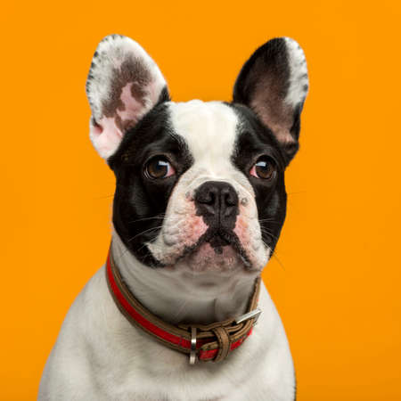 French Bulldog (1 year old) in front of an orange  Banque d'images