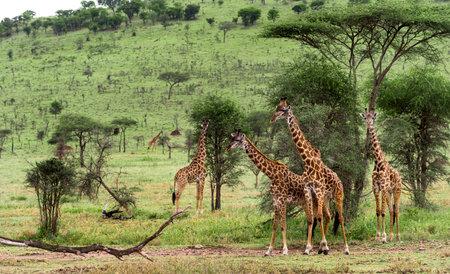 キリン、セレンゲティ、タンザニア、アフリカの群れ 写真素材