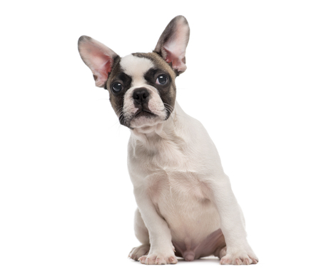 French Bulldog (3 months old) sitting in front of a white background