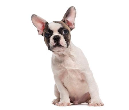 Französisch Bulldog (3 Monate alt) sitzen vor einem weißen Hintergrund Standard-Bild - 41957186