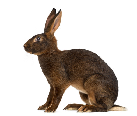 Belgian Hare in front of a white background Archivio Fotografico