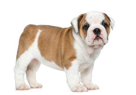 Engels bulldog puppy voor witte achtergrond Stockfoto
