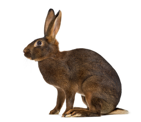 Belgian Hare in front of a white background Stockfoto