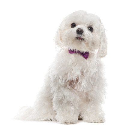 Maltese in front of white background