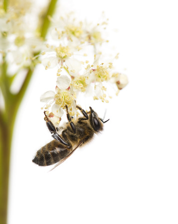 Honey bee foraging in front of a white background Stockfoto