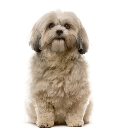 Shih Tzu sitting in front of a white background Stock Photo - 42671764
