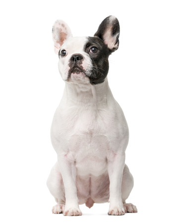 French Bulldog sitting in front of a white background Imagens
