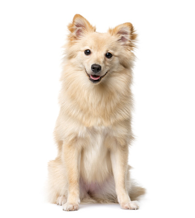 German Spitz sitting in front of a white background Stockfoto