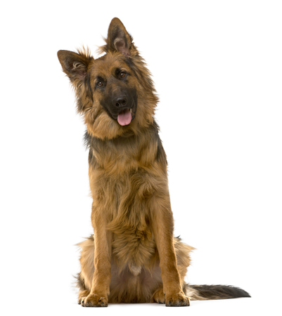 German Shepherd sitting in front of a white background Stockfoto