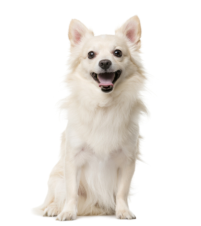 Chihuahua sitting in front of a white background