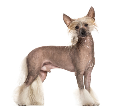 Chinese crested dog standing in front of a white background
