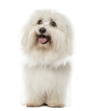 Maltese sitting in front of a white background Foto de archivo