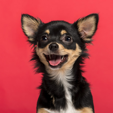 Close-up of a Chihuahua in front of a pink background Banque d'images