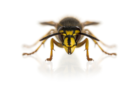 Wasp in front of a white background