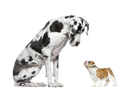 Great Dane looking at a French Bulldog puppy in front of a white background Archivio Fotografico