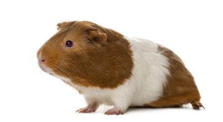 Guinea pig in front of a white background Stockfoto